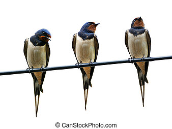 Three beautiful swallows