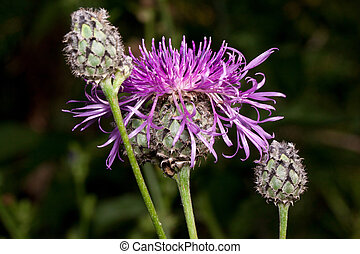 Three beautiful thistle flower are growing on a green meadow. Live nature.
