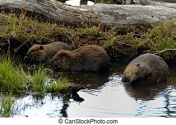 beavers - Three beavers are eating in the river
