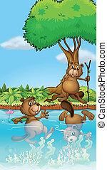 Three beavers playing at the river