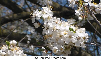 Three bees collects nectar on the flowers of white blooming apple. Anthophila, Apis mellifera