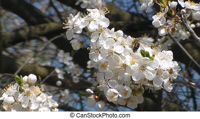 Three bees collects nectar on the flowers of white blooming...