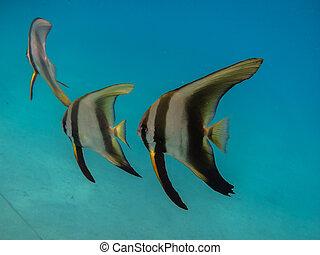 three big butterflyfishes