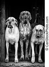 three big dog guarding house door, abstract black and white portrait