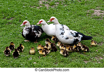 three big duck - three big muscovy duck with chickens