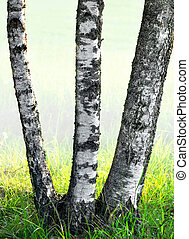 Three birch trees