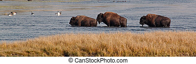 Three Bison crossing a river