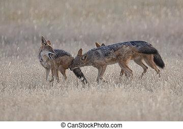 Three Black Backed Jackals playing in Kalahari on a plain
