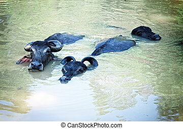Three black buffalo swimming