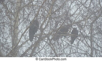 Three black crows sitting on a branch of a birch tree during...