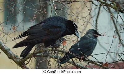 The Three Ravens (Roud 5; Child 26)