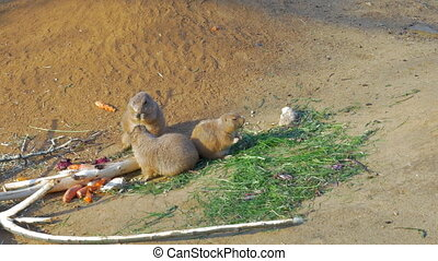 Three black-tailed prairie dogs eating - Family of three...