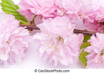 Blooming three-lobed almonds (Louisiana) Rosenmund on a white background, closeup