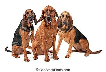 Three Bloodhound Dogs Isolated on White - Three Bloodhound...