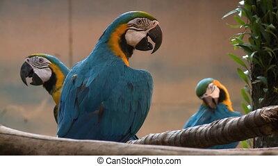 Handheld, medium close up shot of three blue macaw parrots.