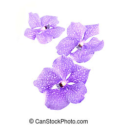 three blue orchids isolated on white background