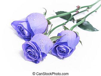 three blue roses; on white
