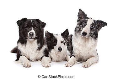 Three border collie sheepdogs lying on front