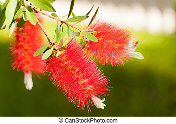 Bottlebrush Flowers