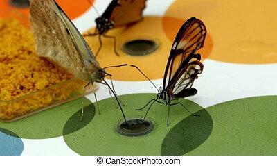 Three brown butterflies sucking some water
