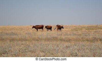 Three brown cows grazing on pasture in field