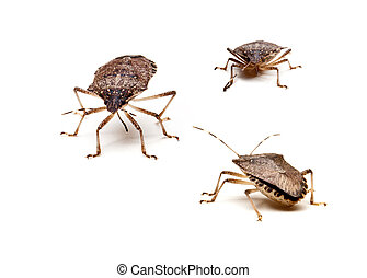 Three Brown Stink Bugs