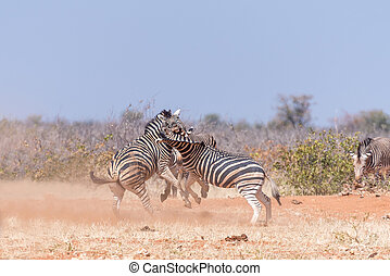 Three Burchells Zebra stallions fighting in North-Western...