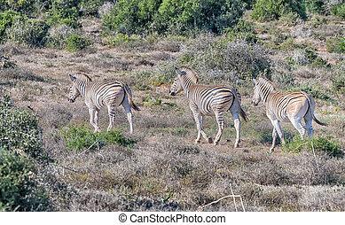 Three Burchells zebras, Equus quagga burchellii, walking...