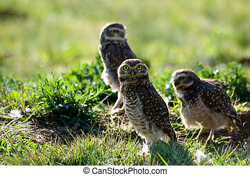 Burrowing owls - Three Burrowing owls on the field