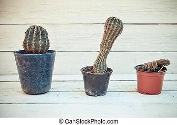Three cactus plants in pots