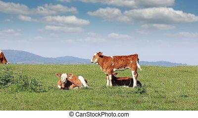 three calves on field