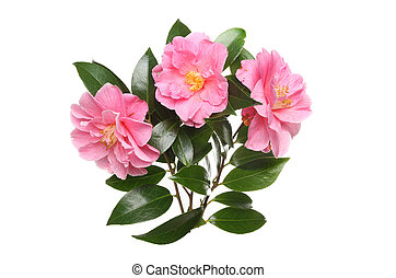 Three Camellia flowers and foliage