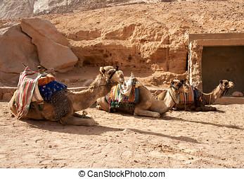 Three Camels resting