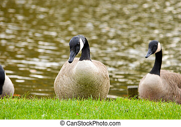 Three Canada geese on grass by a lake