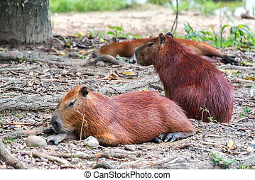 Three Capybaras - View of three Capybaras, the largest ...
