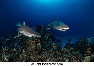 Three Caribbean reef sharks swim over a coral reef in the...