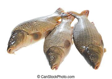 Three carp on a white background