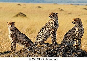 Three Cheetah Brothers - Three cheetah brothers in Masai...