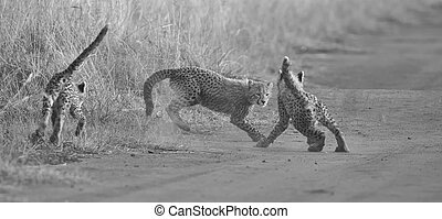 Three Cheetah cubs playing early morning in a road