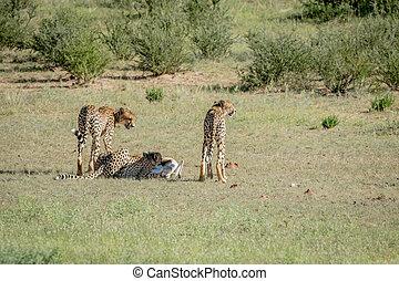 Three Cheetahs on a Springbok kill.