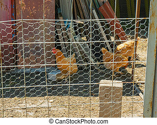 Three chickens walking on yard of the hennery. Image of three hens behind wirecloth of the barnyard. Chickens peck corn in hencoop. Group of brown hens in hennery.
