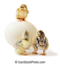 three chicks and ostrich egg