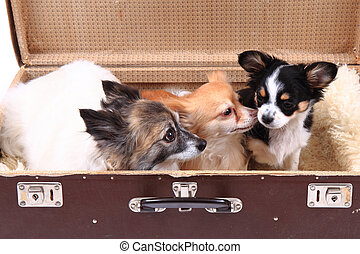 three chihuahua dogs in the suitcase