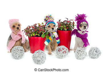 Three chihuahua dogs with Christmas items