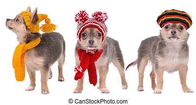 Three chihuahua puppies with scarfs and hats isolated on white background