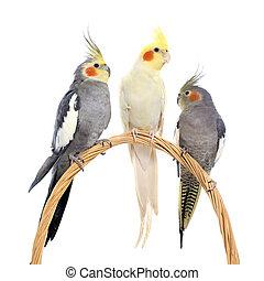 three cockatiel perching - three cockatiel playing in front ...
