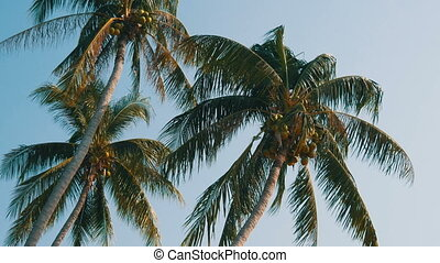 Three coconut palms with green coconuts on palm tree - Three...