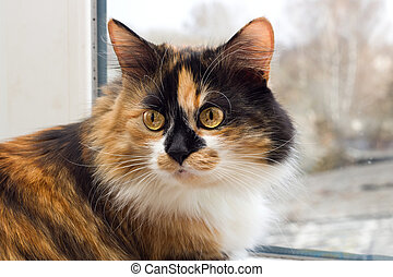Three-color black red white domestic cat with yellow eyes