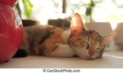 three-colored cat kitten sleeps on the window in the morning...