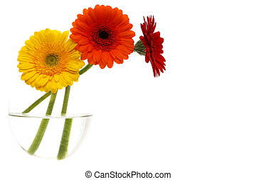 Three colored gerbera in glass vase on a white background.